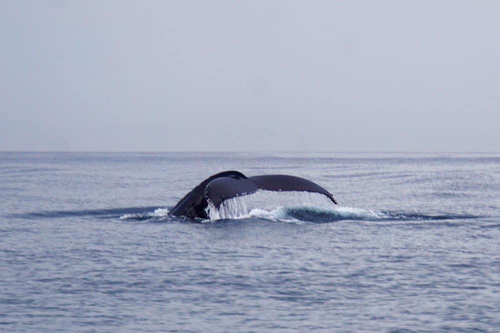 Kanada Rundreise: Highlights auf der Nationalparkroute von Vancouver nach Banff - Vancouver Island Whale Watching Buckelwal