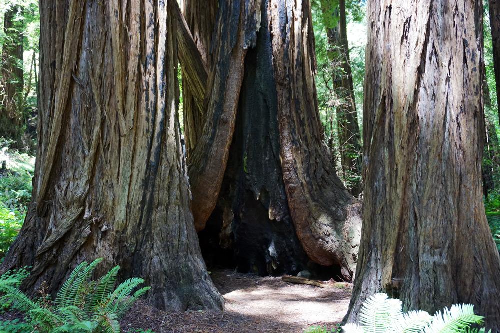 San Francisco Tagesausflug: Die schönsten Ausflugsziele rund um die Stadt - Muir Woods National Monument Mammutbäume