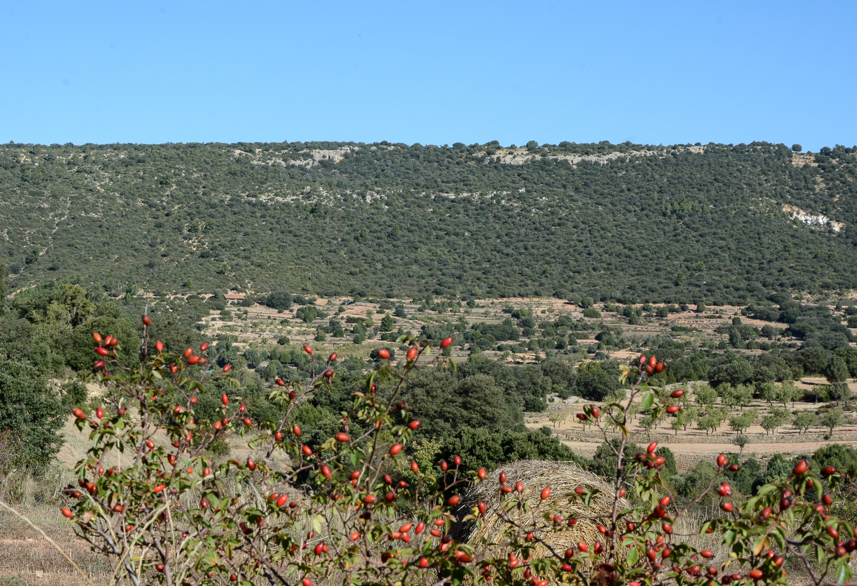 Valencia und seine Berge: Wandern im Hinterland - Parque Natural de la Puebla de San Miguel, Hagebutten Felder