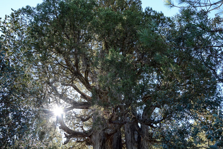 Valencia und seine Berge: Wandern im Hinterland - Parque Natural de la Puebla de San Miguel, Wacholderbaum