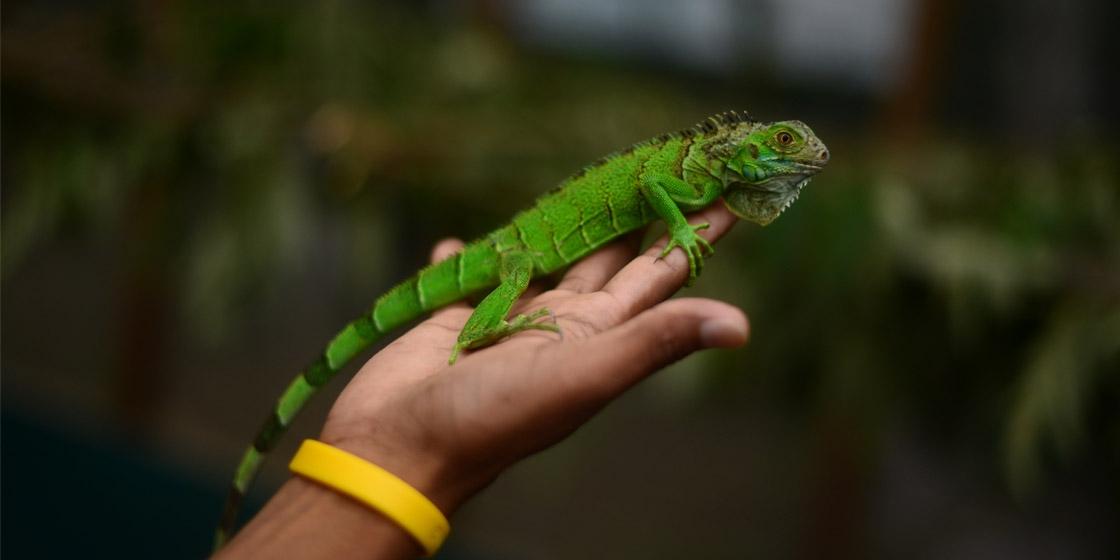 Grüner Leguan - Belize Top 5 Sehenswürdigkeiten