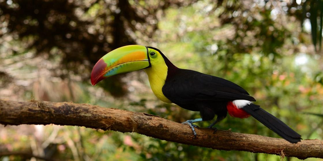 Exotischer Vogel in Belize - Top 5 Belize Sehenswürdigkeiten