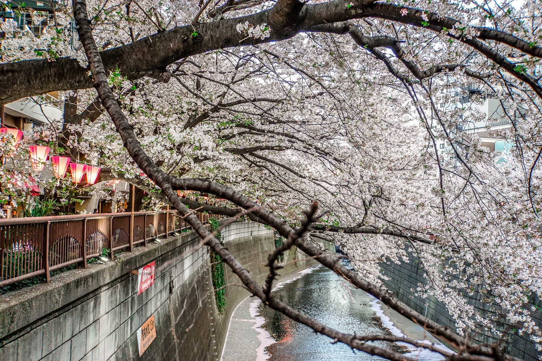 Kirschblüte in Tokio: Die fünf schönsten Orte und Hotspots zur Sakura - Meguro River
