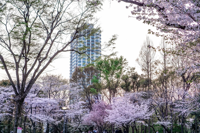 Kirschblüte in Tokio: Die fünf schönsten Orte und Hotspots zur Sakura - Shinjuku Central Park