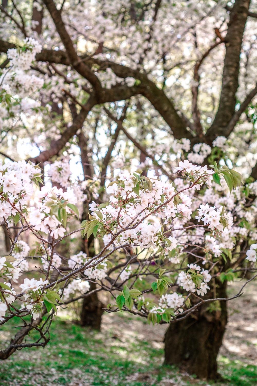 Kirschblüte in Tokio: Die fünf schönsten Orte und Hotspots zur Sakura - Yoyogi Park