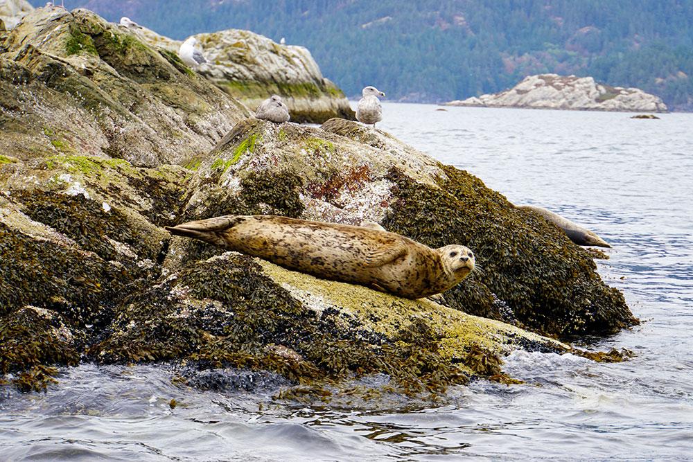Vancouver Tagesausflug: 9 Ausflugsziele und Highlights rund um die Stadt - Sewells Marina Bowen Island Tour Seehunde