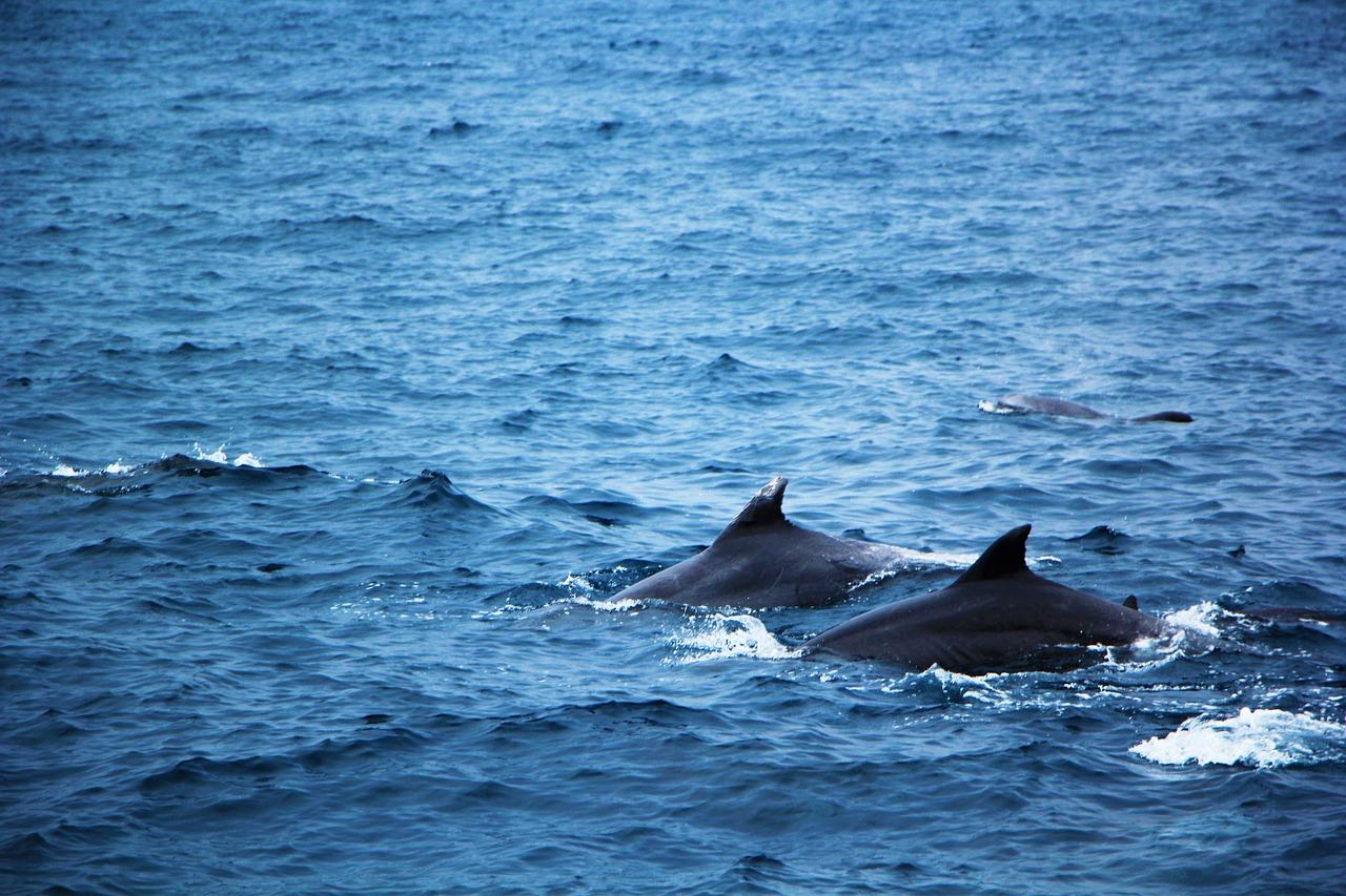 Tiere beobachten auf Big Island - schönste Tierbegegnungen auf Hawaii - Delfine