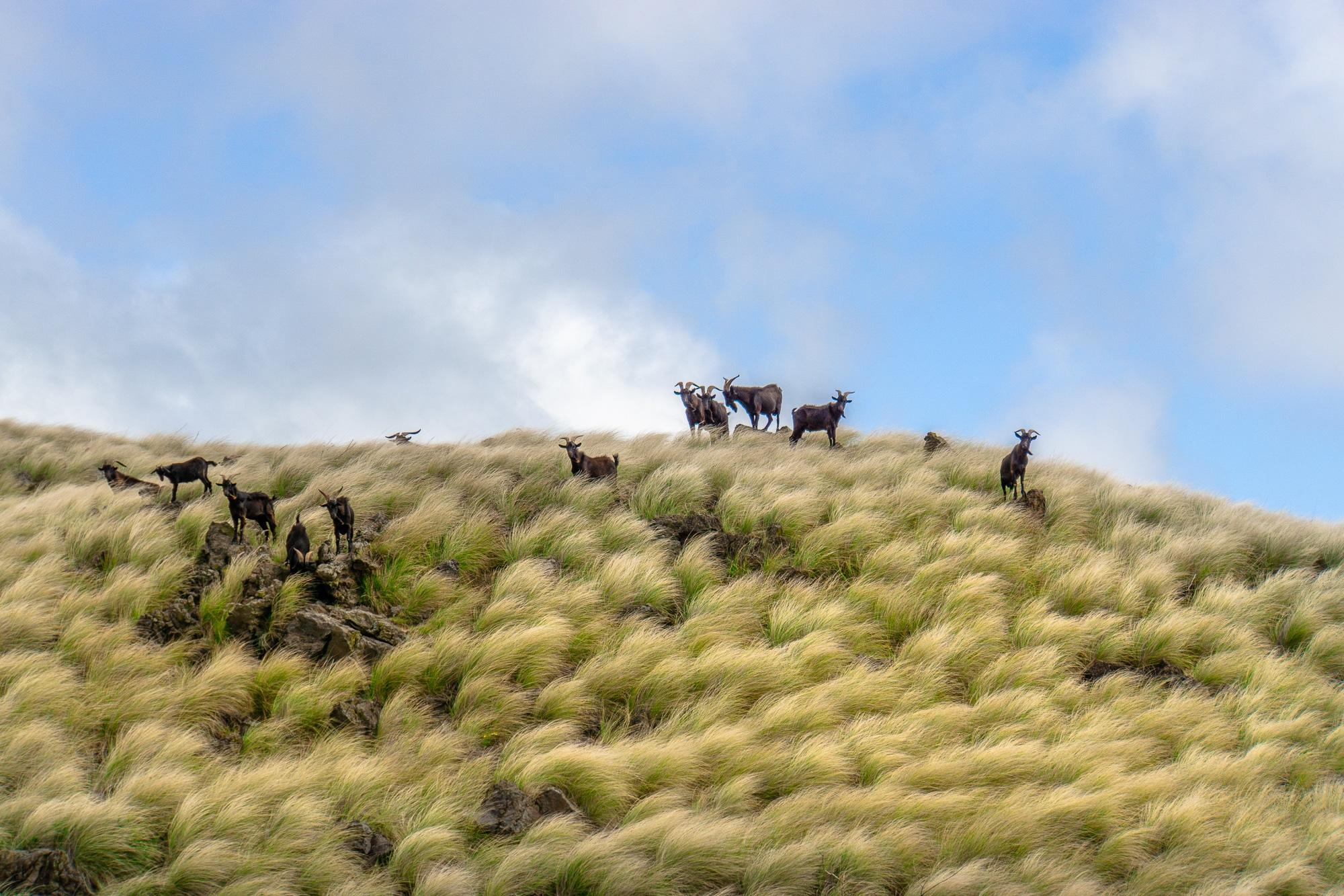 Tiere beobachten auf Big Island - schönste Tierbegegnungen auf Hawaii - Ziegen
