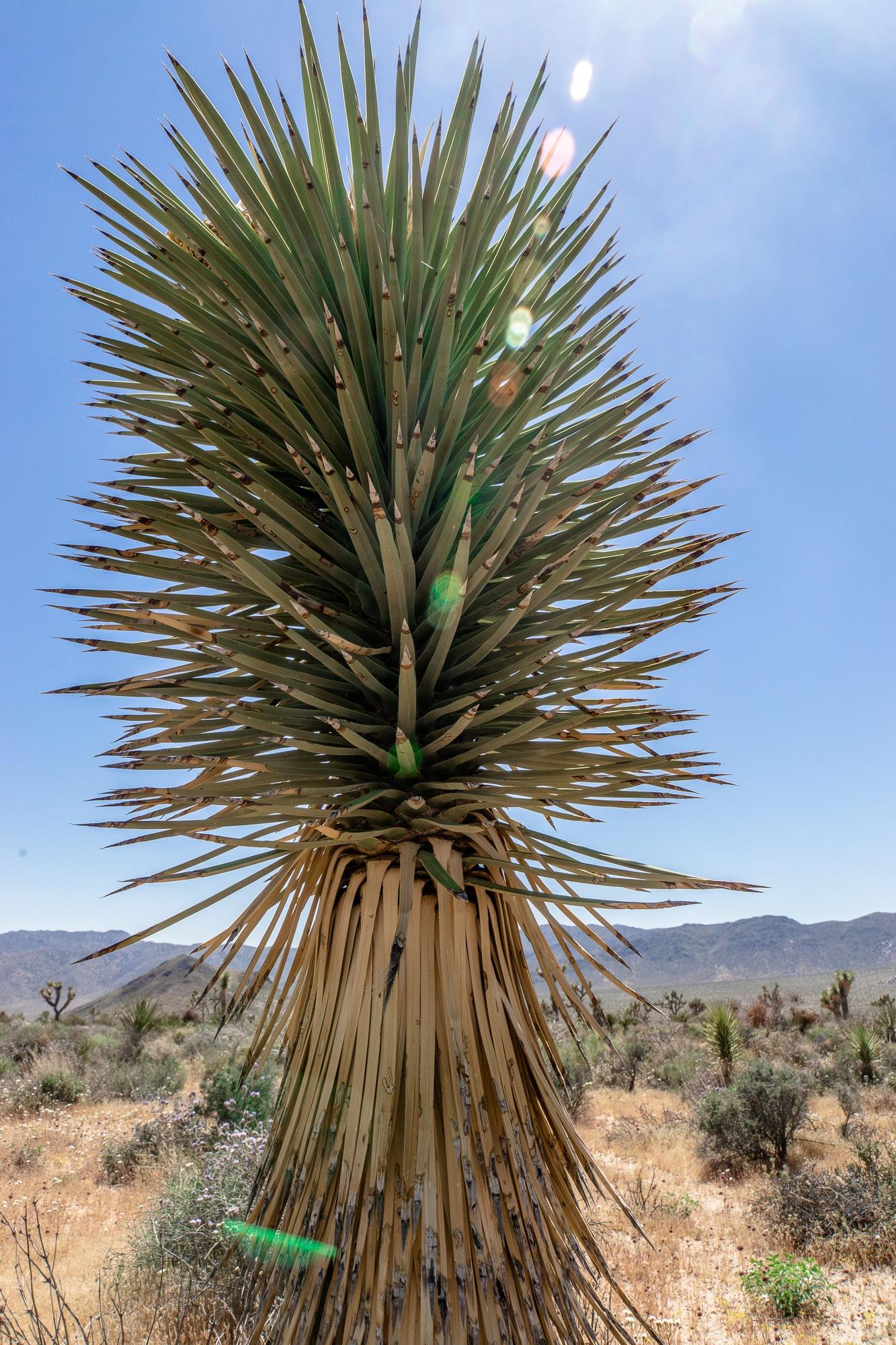 Joshua-Tree-Nationalpark: Die schönsten Sehenswürdigkeiten & Highlights - Palme