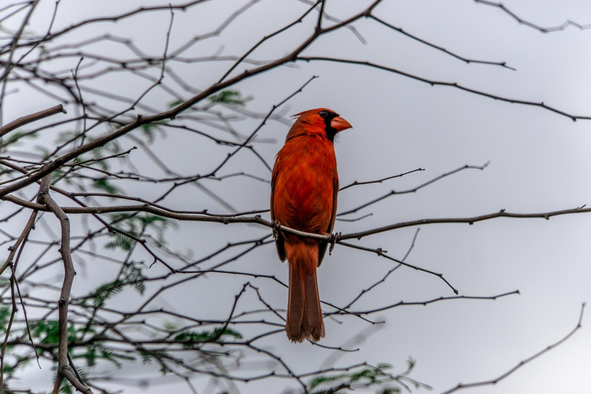 Tiere beobachten auf Big Island - schönste Tierbegegnungen auf Hawaii - Rotkardinal