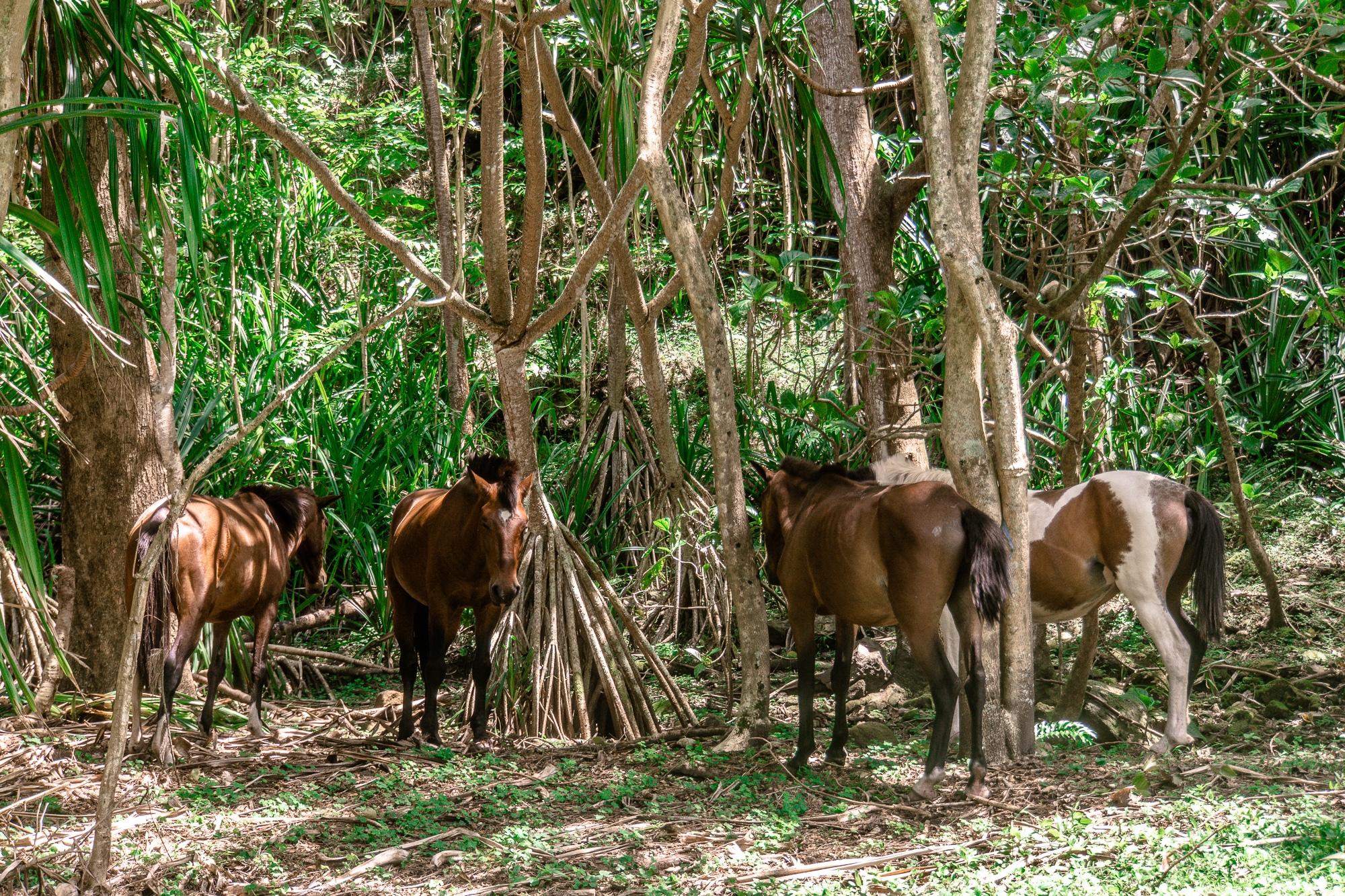 Tiere beobachten auf Big Island - schönste Tierbegegnungen auf Hawaii - Wildpferde im Waipio Valley