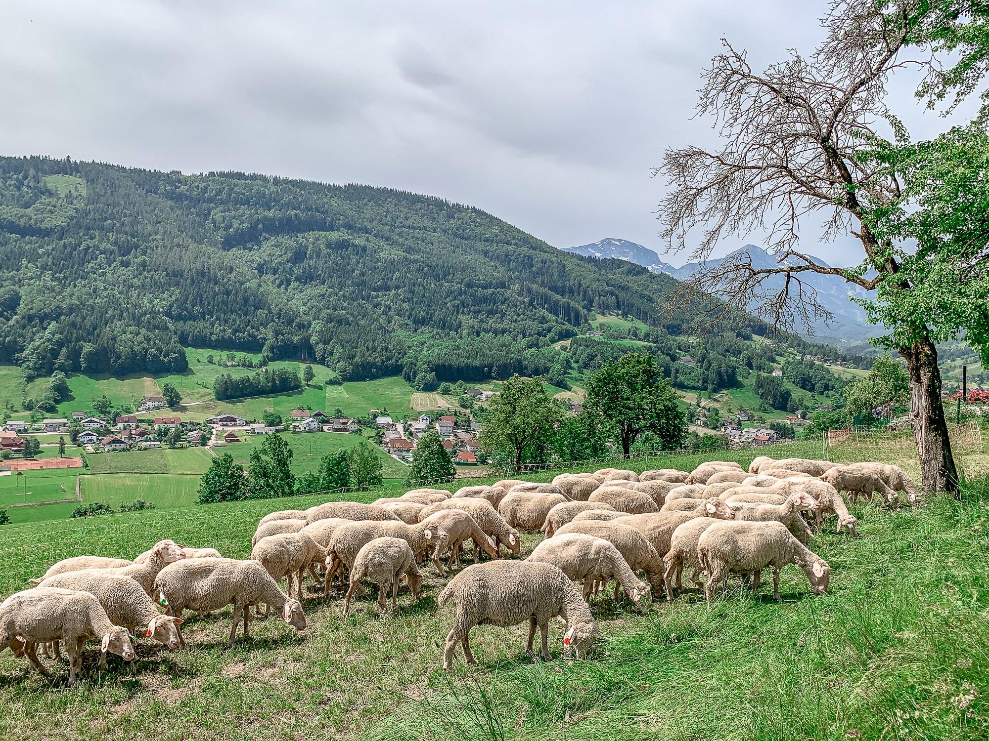 BergeSeen Trail: Erfahrungen auf der Weitwanderung im Salzkammergut - Etappe 1, Schafe