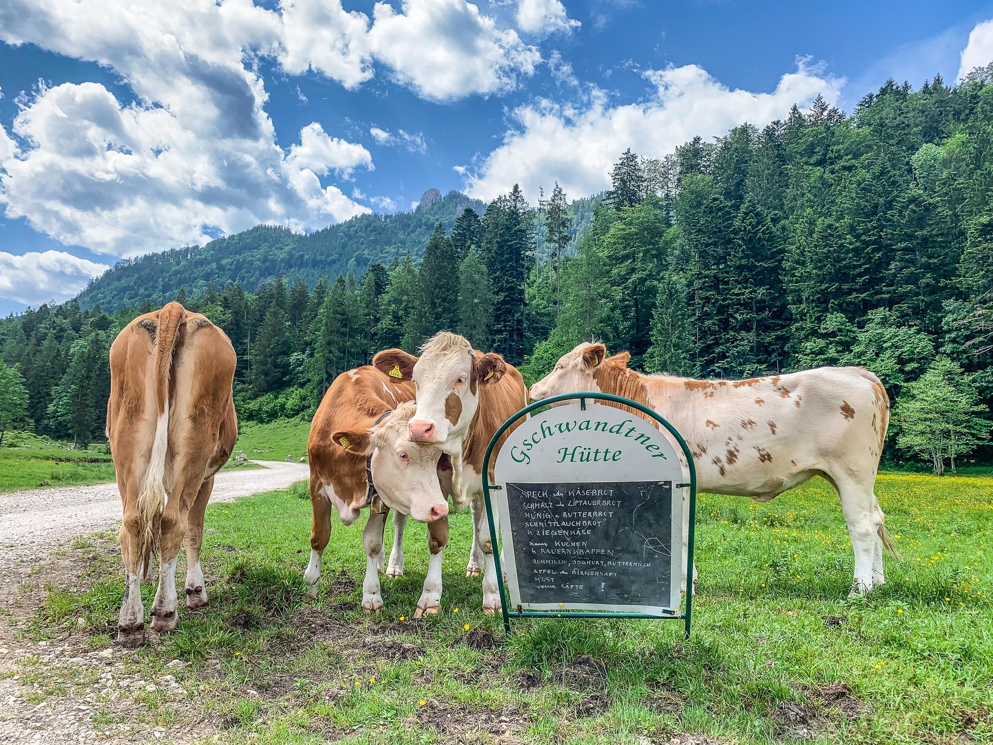 BergeSeen Trail: Erfahrungen auf der Weitwanderung im Salzkammergut - Etappe 3, Gschwandtner Hütte Kühe