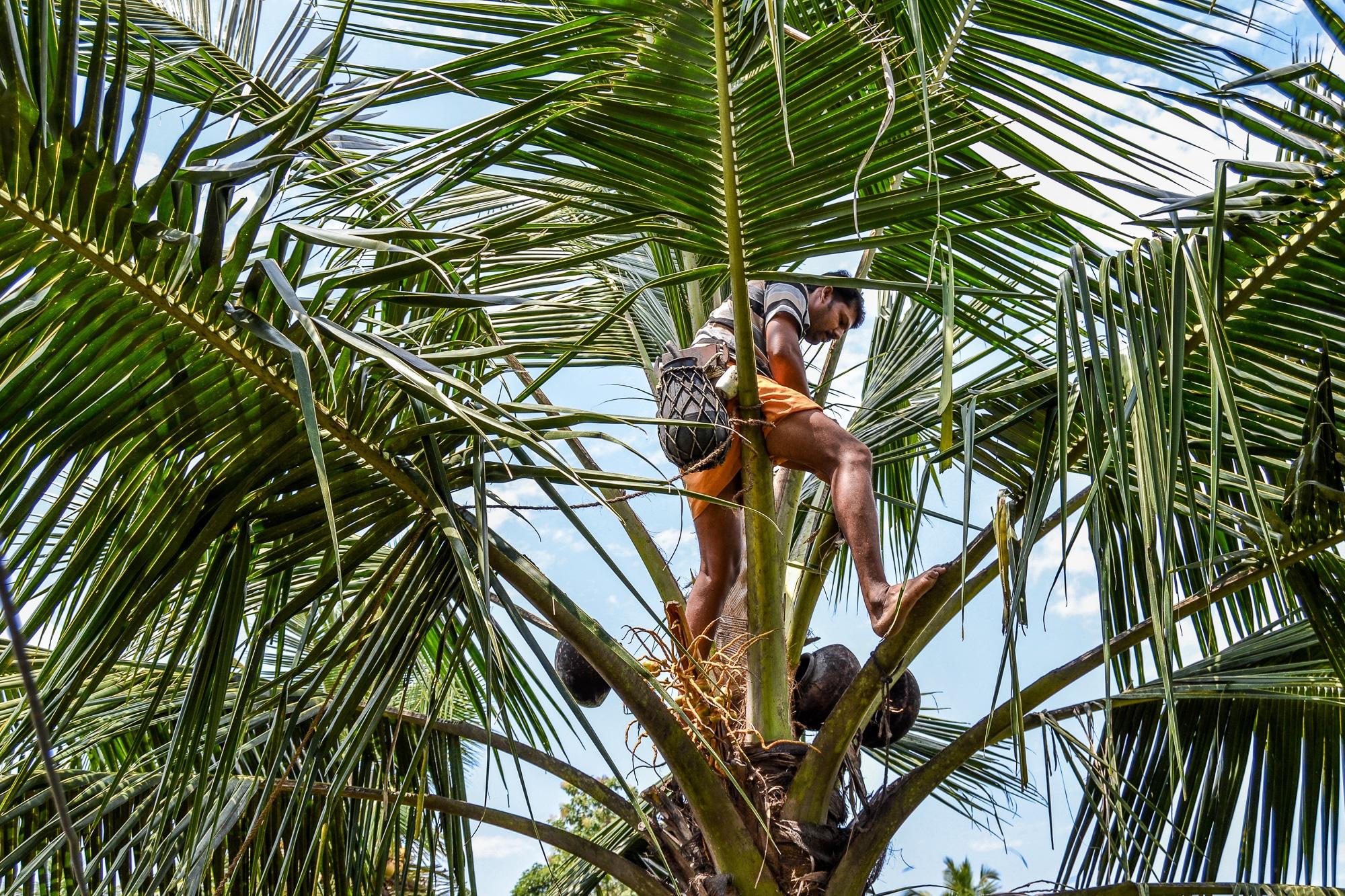 Kerala: Sehenswürdigkeiten, Kultur und Kulinarik im südlichen Indien - Mann klettert auf Kokospalme