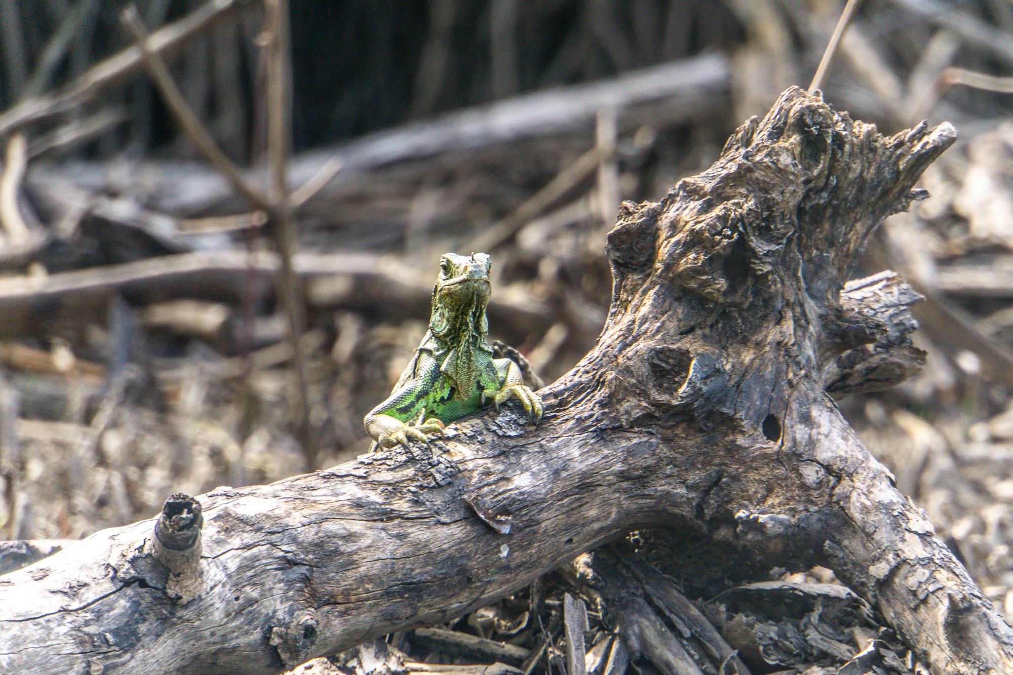 Laguna Ventanilla: Krokodile, Iguanas und Vögel beobachten in Mazunte
