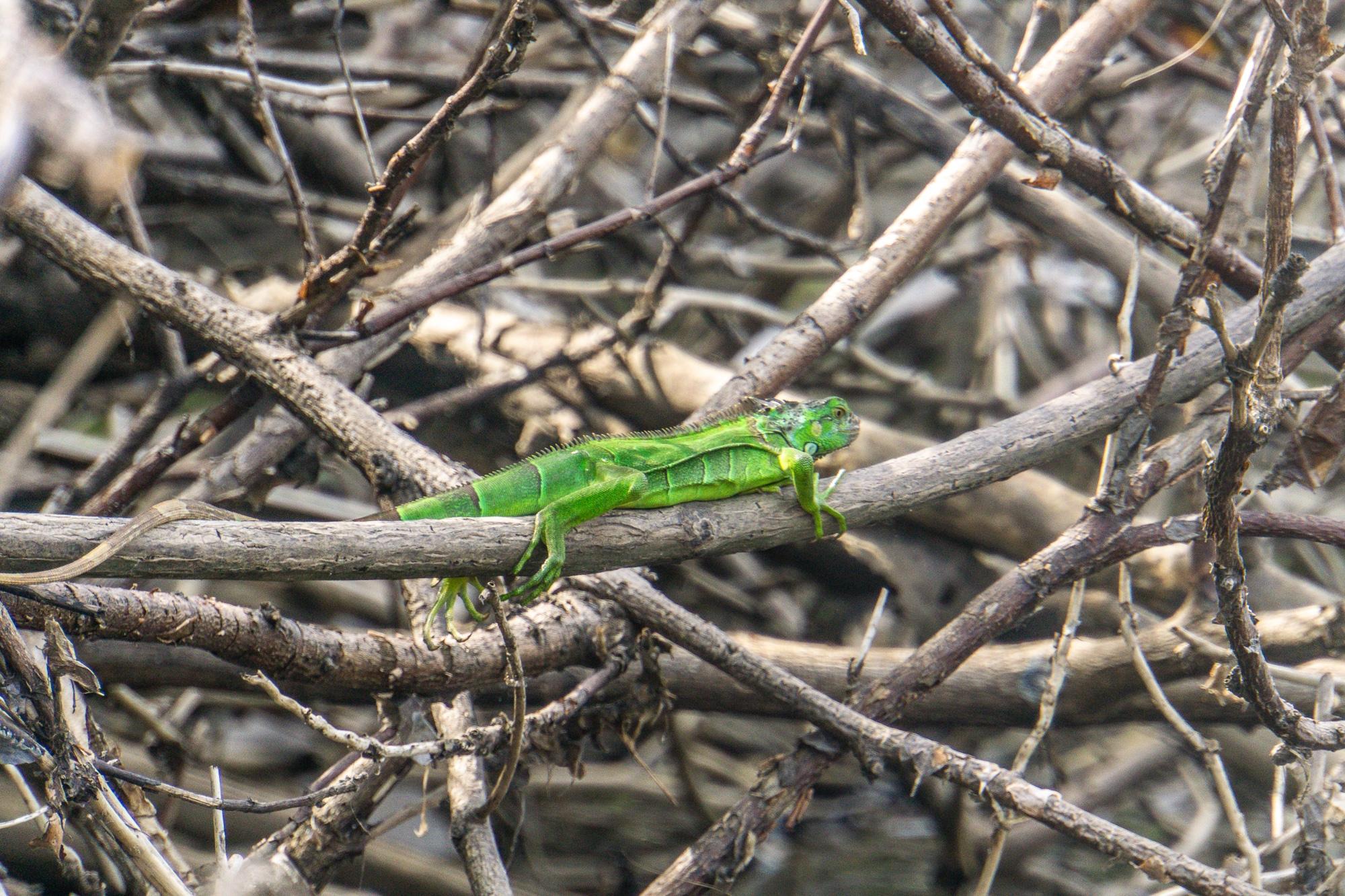 Laguna Ventanilla: Krokodile, Iguanas und Vögel beobachten in Mazunte - Iguana