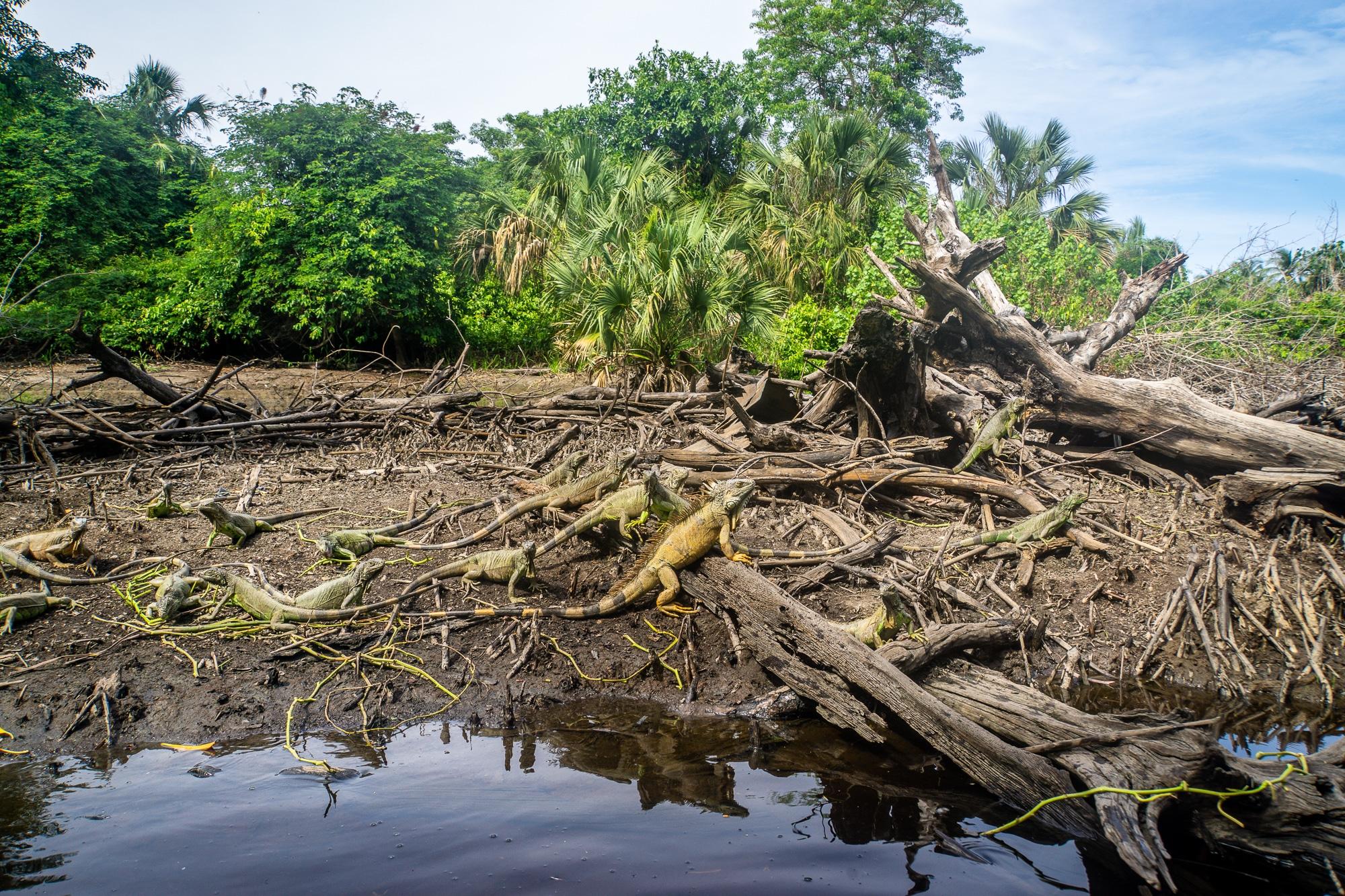 Laguna Ventanilla: Krokodile, Iguanas und Vögel beobachten in Mazunte - Iguanas