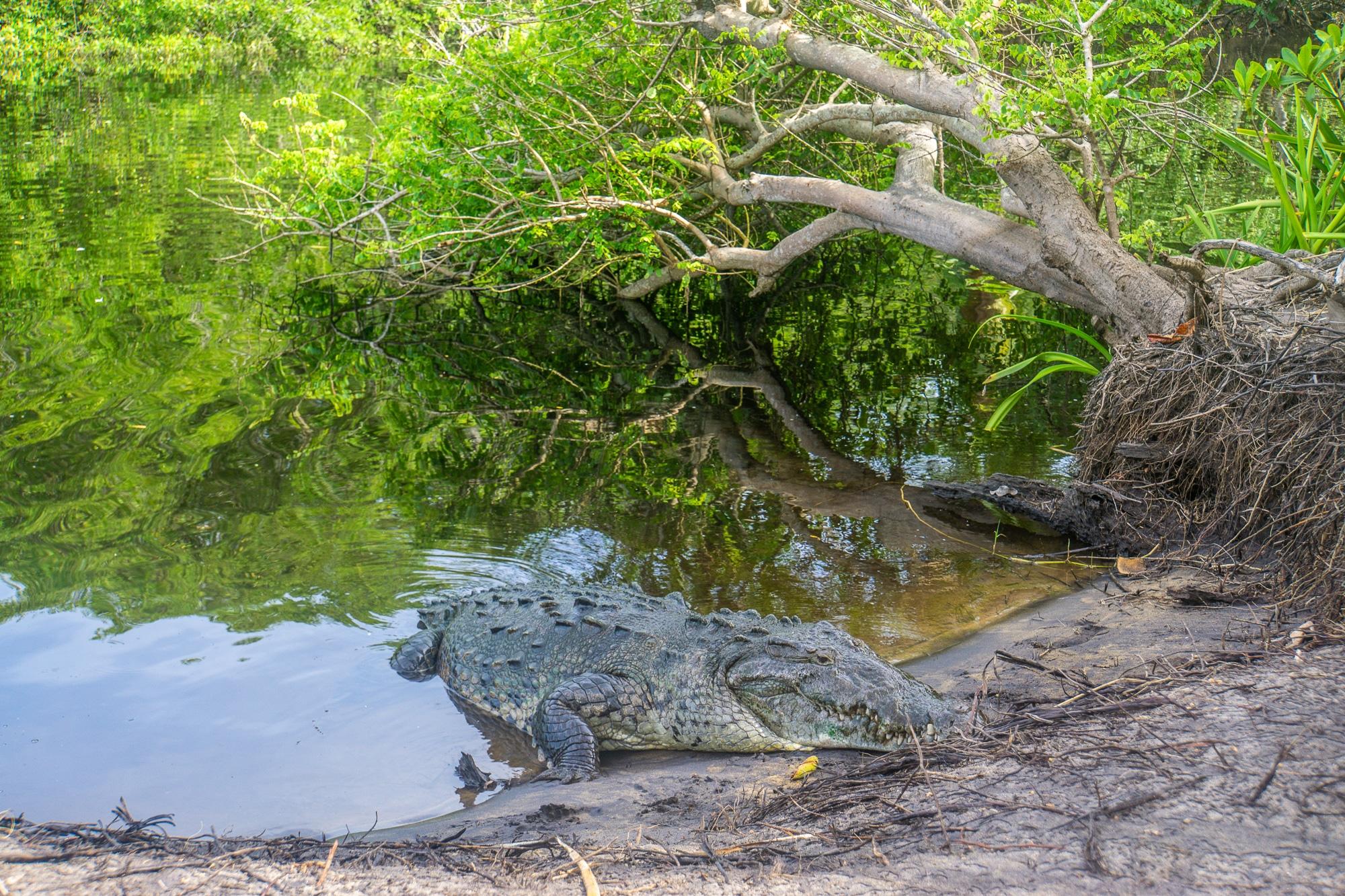 Laguna Ventanilla: Krokodile, Iguanas und Vögel beobachten in Mazunte - Krokodil
