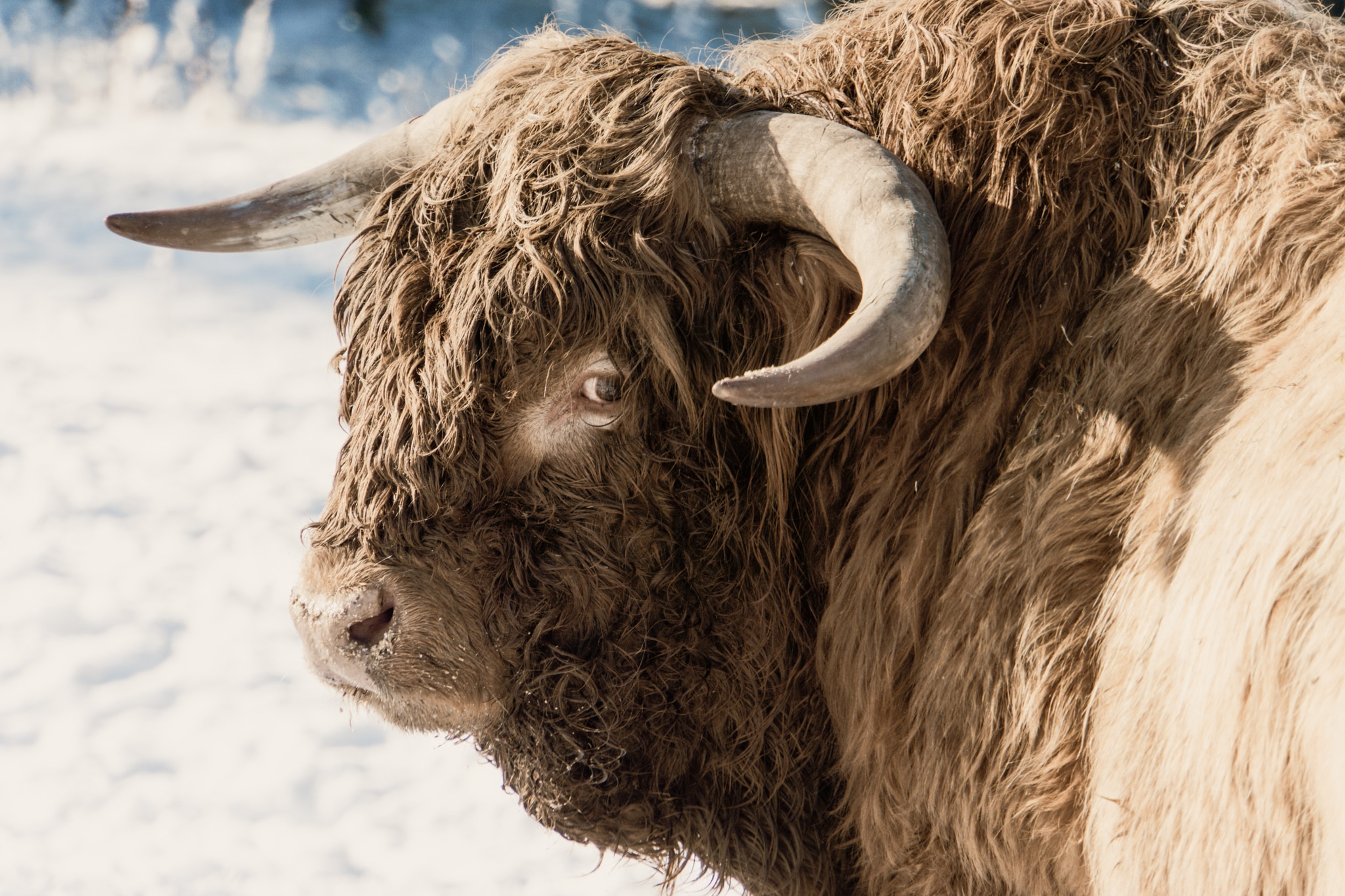 Cairngorms Nationalpark: Die SnowRoads Scenic Route in den Highlands - Hairy Coo, Highland Cow