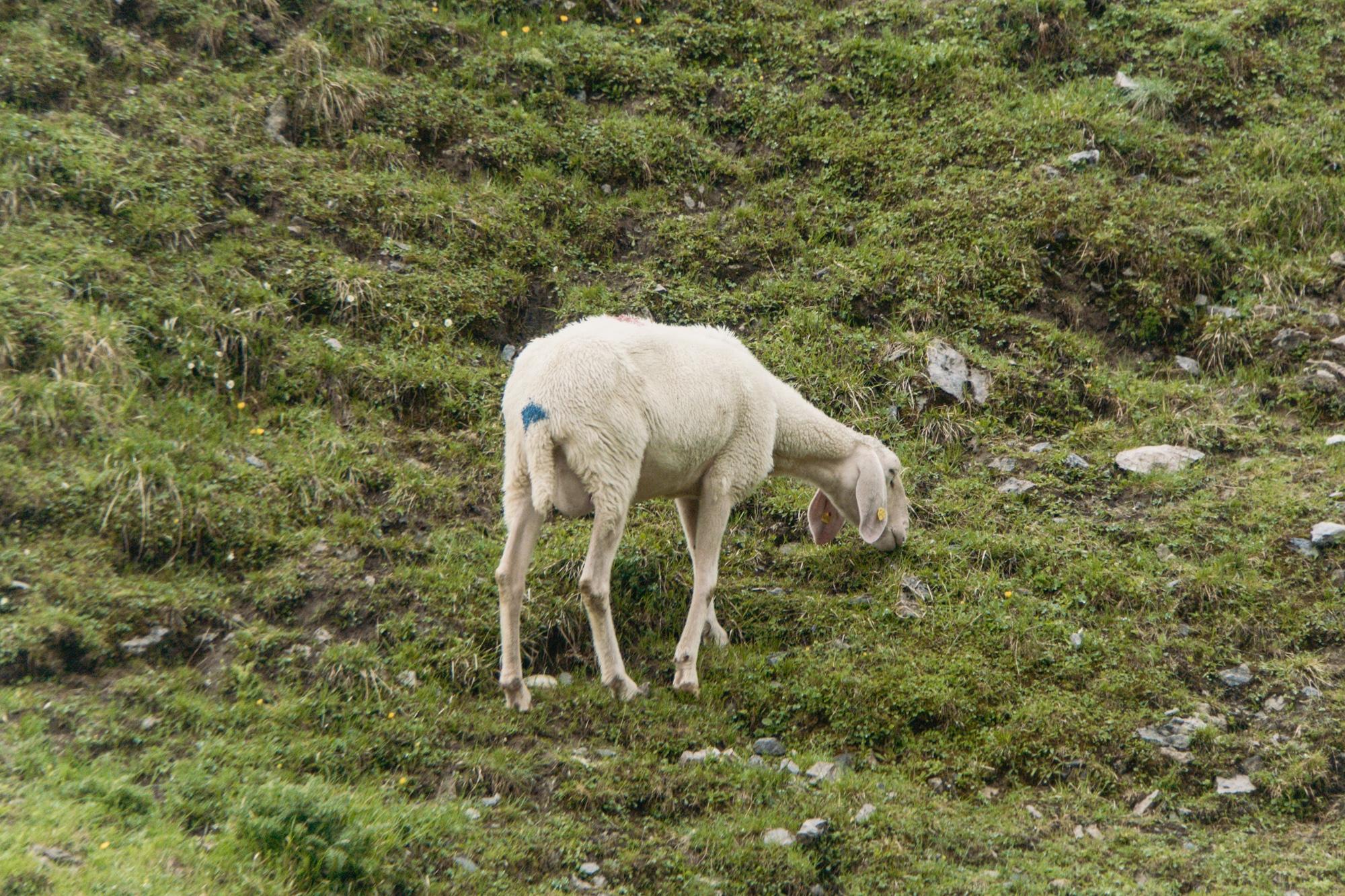 Innsbruck Sehenswürdigkeiten: Top Ten Highlights und Tipps für die Stadt - Hafekelar Schaf