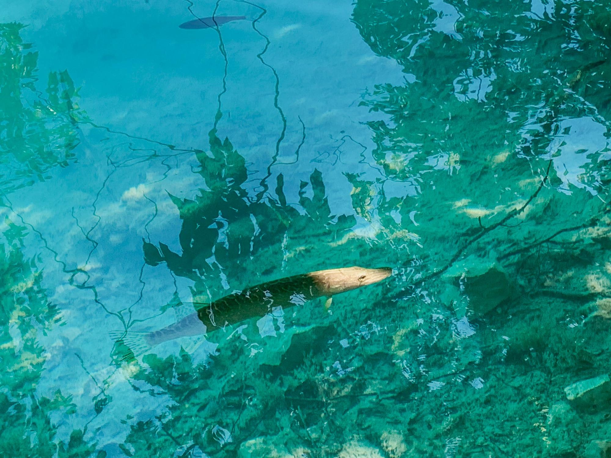 Nationalpark Plitvicer Seen: Tipps für den schönsten Kroatien Nationalpark - Fische im klaren Wasser