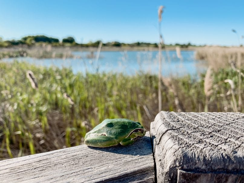 Frosch im Durankulak See Biotop in Bulgarien