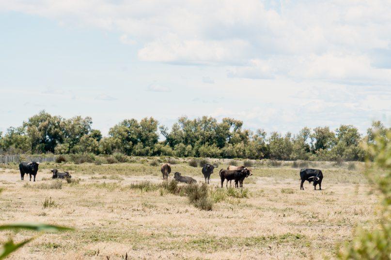 Camargue Frankreich: Schwarze Stiere