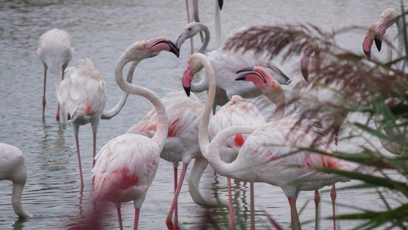 Camargue Frankreich: Flamingos