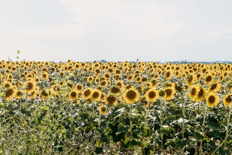 Sonnenblumen Feld in der Provence